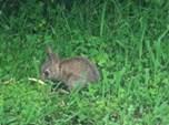 rabbit in tom